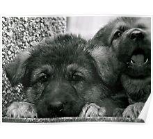 Simply Cute (German Shepherd Puppies) Poster