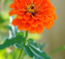 Orange Zinnia Delight by cdfeag65202