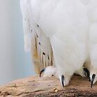 Snowy Owl by Simone Kelly
