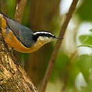 RED - BREASTED NUTHATCH (1) by Sandy Stewart