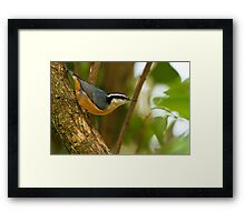 RED - BREASTED NUTHATCH (1) Framed Print