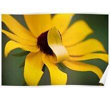 Shy Flower- A Black Eyed Susan Past its Prime Poster