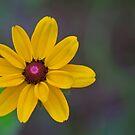 Young Wildflower - Black Eyed Susan by NCBobD