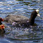 Bald as a Coot! by weecritter