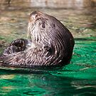 USA. Seattle. Aquarium. Otter. by vadim19