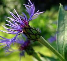 Beautiful knapweed by weecritter