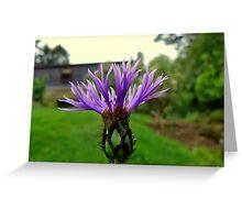Knapweed or cornflower! Greeting Card
