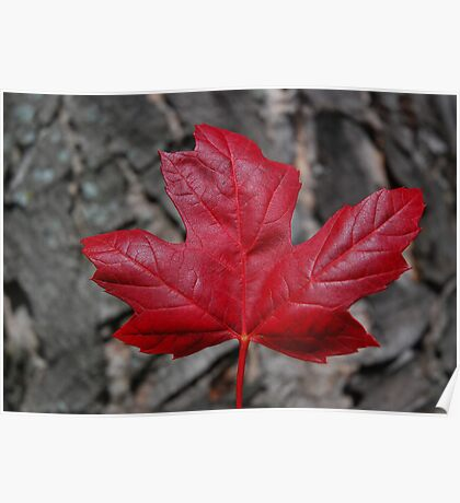 Red Maple Leaf Against Red Maple Trunk Poster