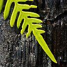 Fren on a Charred Log - Croatan National Forest by NCBobD