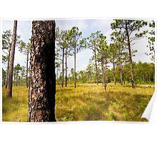Croatan Forest Pine Savannah Poster
