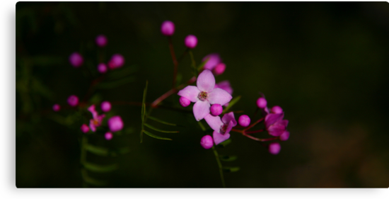 Purple Sydney Boronia by Erland Howden