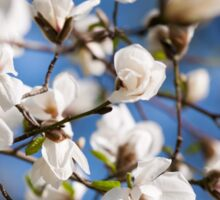 White Magnolia spring flowers bunch Sticker
