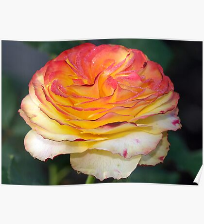 Not Just Another Tequila Sunrise Rose Poster