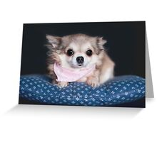 Chihuahua wearing pink bandana. Greeting Card