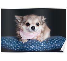 Chihuahua wearing pink bandana. Poster