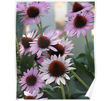 Coneflower - White Picket Fence Poster