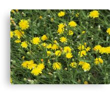 Thickets of small yellow flowers Picris Rigida Canvas Print