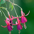Fuchsia Billy by Ivo Velinov