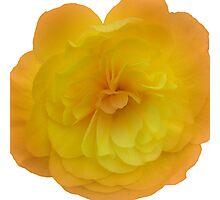 Yellow Begonia Photographic Print