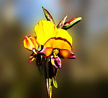 Arrowsmith Pansy Orchid,Diuris aff. magnifica by Julia Harwood