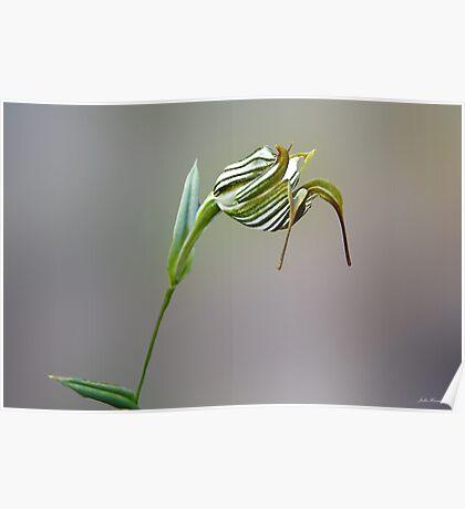 Jug Orchid, Pterostylis recurva Poster