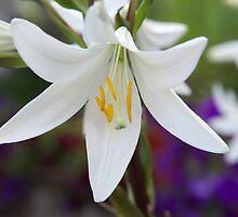 White lily by Ivo Velinov