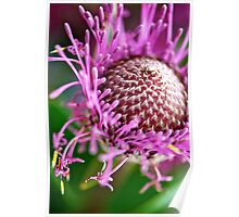Pink Isopogon up close Poster