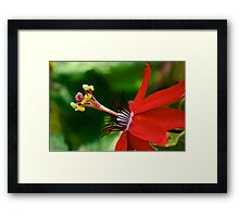 Red Passionflower Framed Print