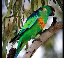Ringneck Parrot 2 by Anna Ryan