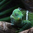 Fiji Banded Iguana by Sandra Chung