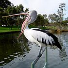 Pelican of the Torrens by Kay Cunningham