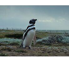 Señor Pingüino Photographic Print