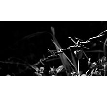 Black and White Barb Photographic Print