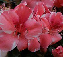 Pink Azaleas- (Taken By Sarah, 19 months old) by CapturedByKylie