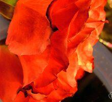 Fire Rose Refelection by Jonelle Davila