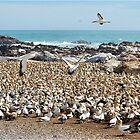 "BIRD ISLAND A ""GANNETS"" PARADISE by Magriet Meintjes"