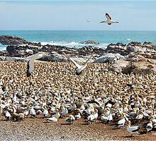 "BIRD ISLAND A ""GANNETS"" PARADISE by Magaret Meintjes"