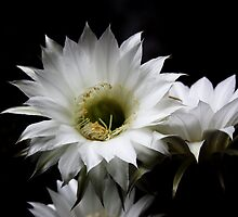 Easter Lily Cactus by Julie's Camera Creations <><