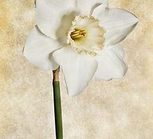 White Daffodil #2 by Chris Cobern