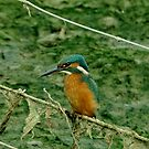 Kingfisher by Russell Couch