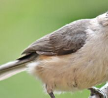 Tufted titmouse Sticker