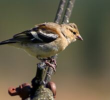 Chaffinch on a wire Sticker