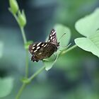Speckled wood by cuprum