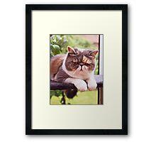 Exotic Shorthair - Persian Cat Framed Print