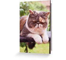 Exotic Shorthair - Persian Cat Greeting Card