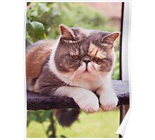 Exotic Shorthair - Persian Cat Poster