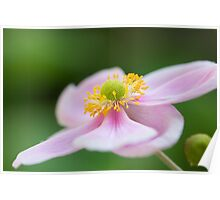 Lone Pink Japanese Anemone Poster