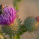 Thistle bee by Steve Mills