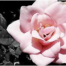SC Rose by G.T.S Photos