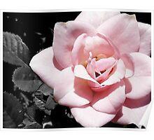SC Rose Poster